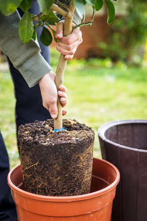 woman is repotting a young lemon tree in a bigger pot, concept gardening Stock fotó