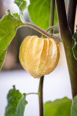 Growth period of physalis peruviana plant, fresh fruit with husk, closeup