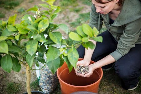 woman is repotting or planting a lemon tree in a brown plastic pot, using gravel or grit as draining material