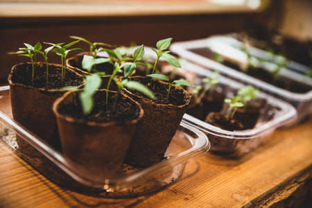 propagation seed pot with soil and pepper chili or paprika seedlings or sprouts in growth