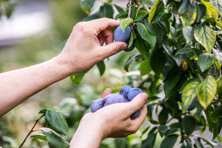 a man is harvesting fresh purple plums from a tree in his garden