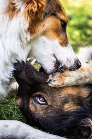 two mongrel dogs, one of them a puppy are having some action while fighting for fun on a meadow Banque d'images