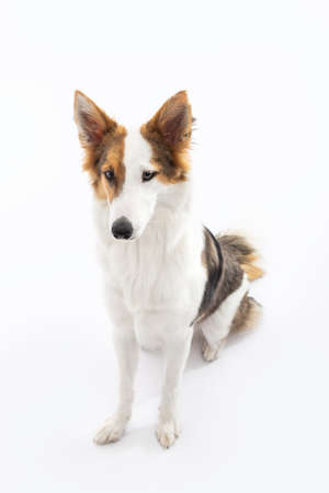 cute mongrel puppy dog is sitting in front of white background