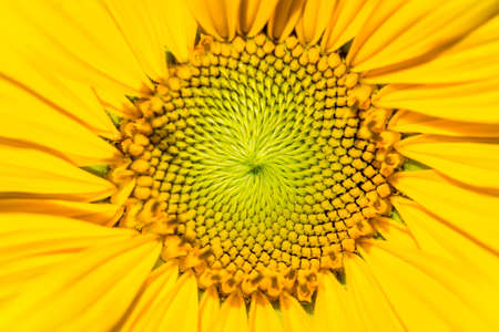 Closeup or macro shot of a sunflower in the summer light