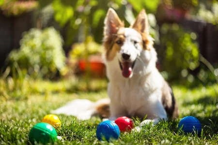 a lot of colorful plastic boules or boccia balls are lying on a green meadow, cute puppy is looking to the viewer