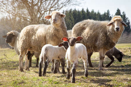 Sheep flock on a farm, two cute lambs in the front