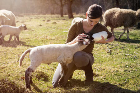 young woman feeding a lamb with a bottle of milk, hand raising Banque d'images