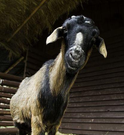 wideangle: goat by wideangle Stock Photo