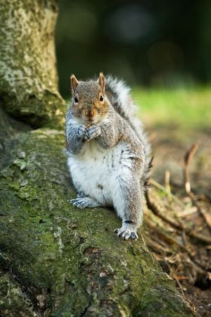 a cute squirrel with nut looking at the camera photo