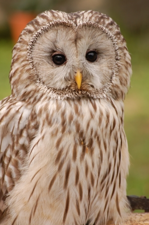 forester: Little Owl Stock Photo