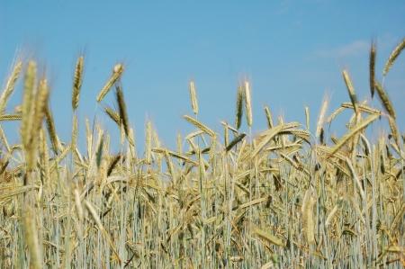 Feldrand von einem Maisfeld Standard-Bild - 14965254