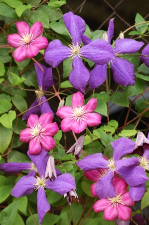 Blue and ruby ​​red Clematis - flowers and leaves