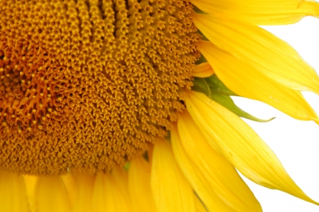 Sonnenblume Standard-Bild - 14966690