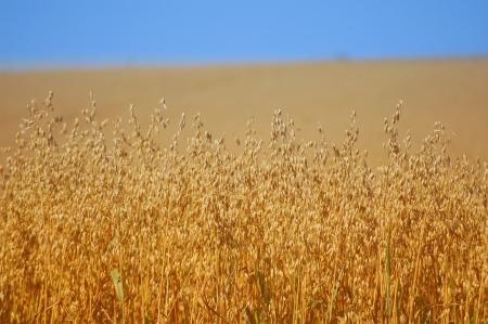 Feldrand von einem Maisfeld Standard-Bild
