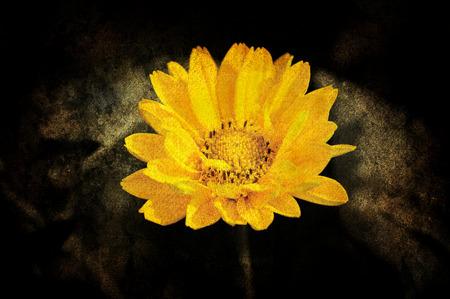 Schöne Sonnenblume mit Dunkelbraun Standard-Bild