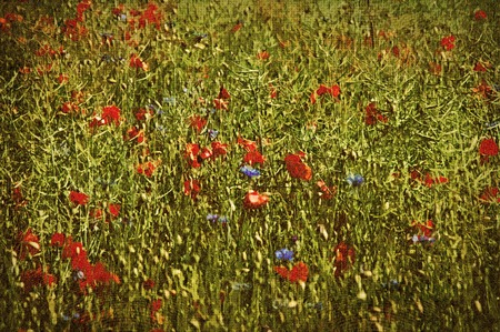 Cornfield with red poppies and blue cornflowers photo