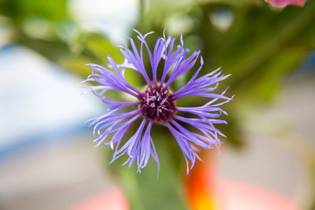Blossom of a cornflower