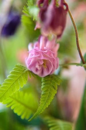 Blüte einer Aquilegia