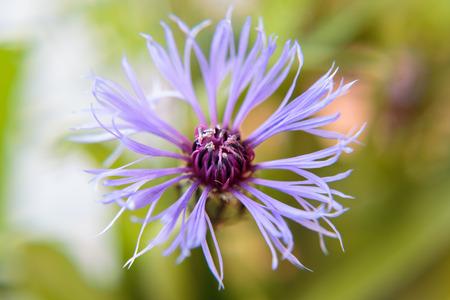 fiordaliso: Fiore di un fiordaliso