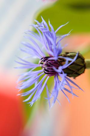 Blüte einer Kornblume Lizenzfreie Bilder