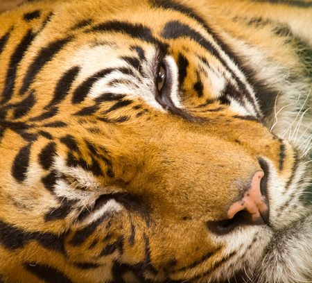Closeup of tiger face Stock Photo - 6254732