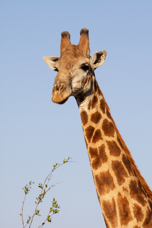 Portrait of giraffe against blue sky in Kruger National Park South Africa photo