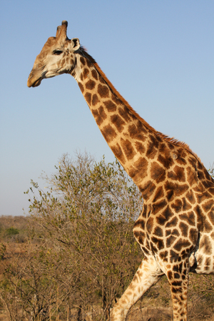 Walking giraffe with long neck in South Africa photo
