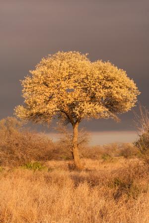 Acacia nigrescens knobthorn tree in full flower bloom in Kruger National Park South Africa Stock Photo - 23050191