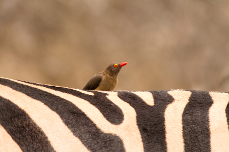oxpecker: Oxpecker bird on back of zebra in Kruger National Park South Africa Stock Photo
