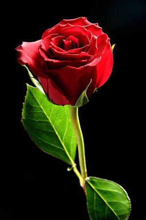 Red Rose Studio