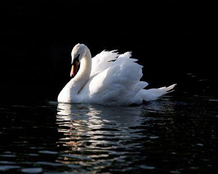 Swimming Swan Stock Photo - 484477