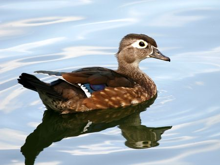 Hen wood duck female Stock Photo - 549193