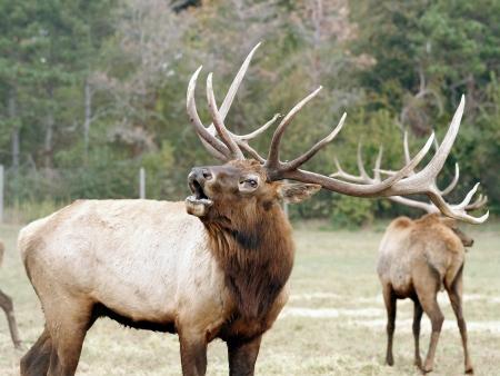 bull elk büyük bir geyiğin boynuzlarına