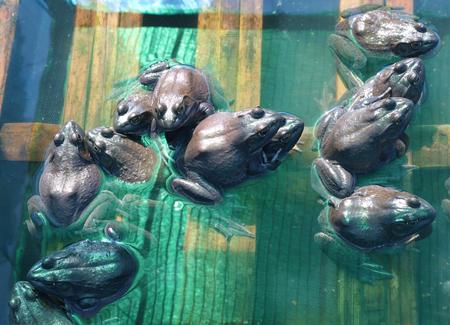 hatchery: Frogs in hatchery well farm