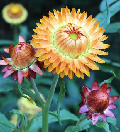everlasting: Everlasting flower in the garden Stock Photo