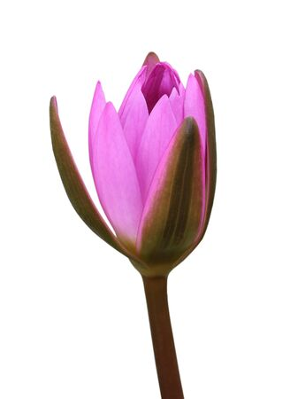 purple lotus: Purple lotus blooming isolated on white background. Stock Photo