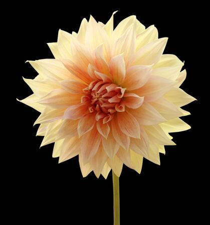 abloom: Dahlia isolated on black  background Stock Photo