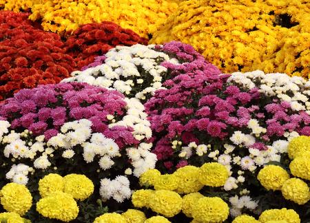 lindi: Colorful flowers of chrysanthemums