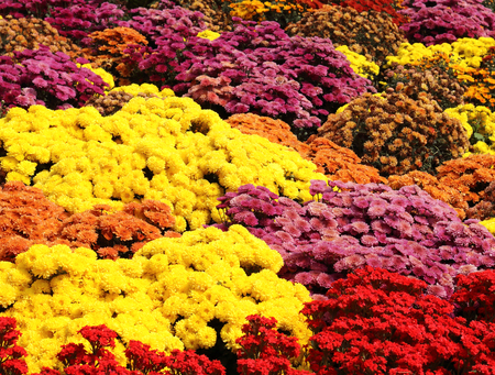 Colorful flowers of chrysanthemums