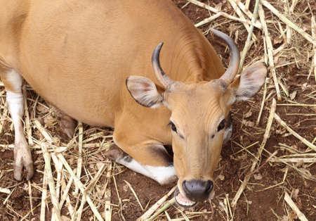 livestock sector: Cow