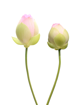 Pink lotus buds isolated on white background