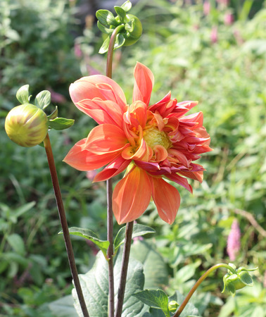 abloom: Blooming colorful dahlia bud