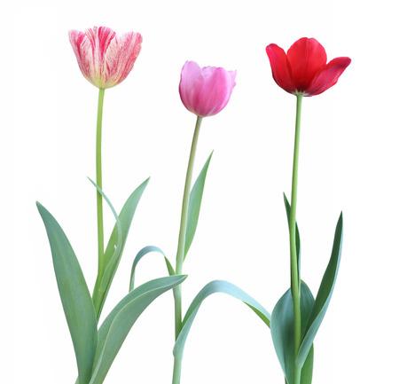 matherday: Colorful tulip flower isolated on white background.