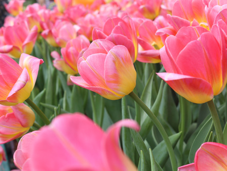 matherday: Colorful tulips flower