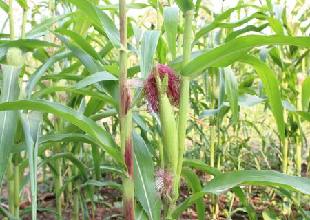 genetically modified crops: Corn field