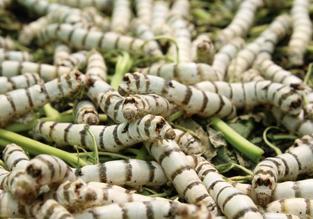 sericulture: Silkworm eating mulberry green leaves