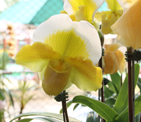 Flowers of Paphiopedilum orchid Stock Photo
