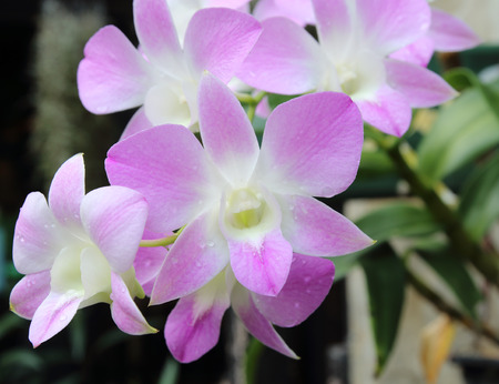 orchid house: Beautiful purple orchid flowers Stock Photo