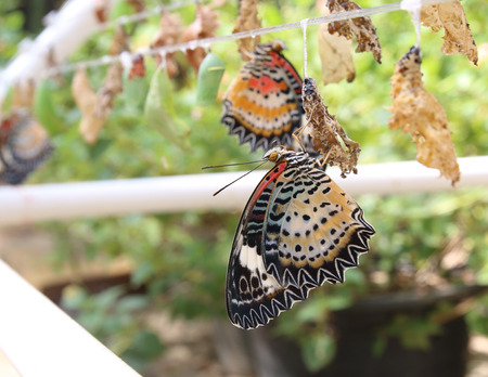 Butterflies emerged from cocoon in nursery Stock Photo
