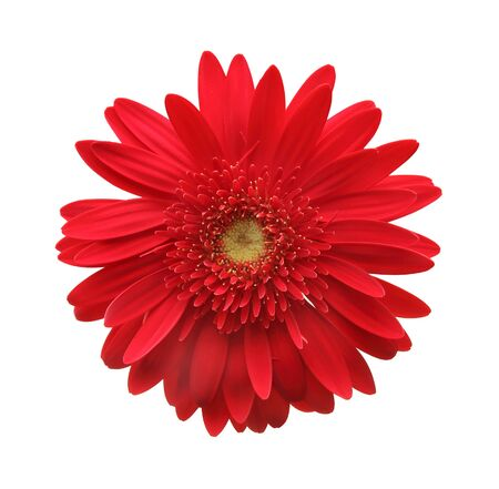 Red Gerbera flower blossom isolated on white background.